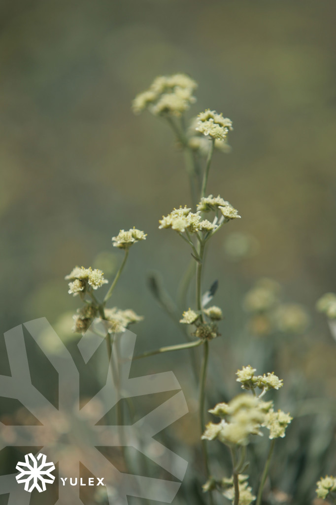 Guayule_flower-watermarked