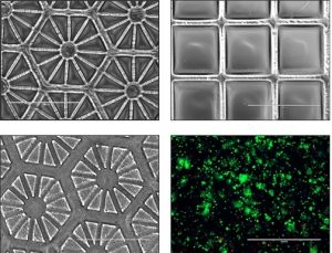 Stem cells bioprinted with high resolution & srcset=